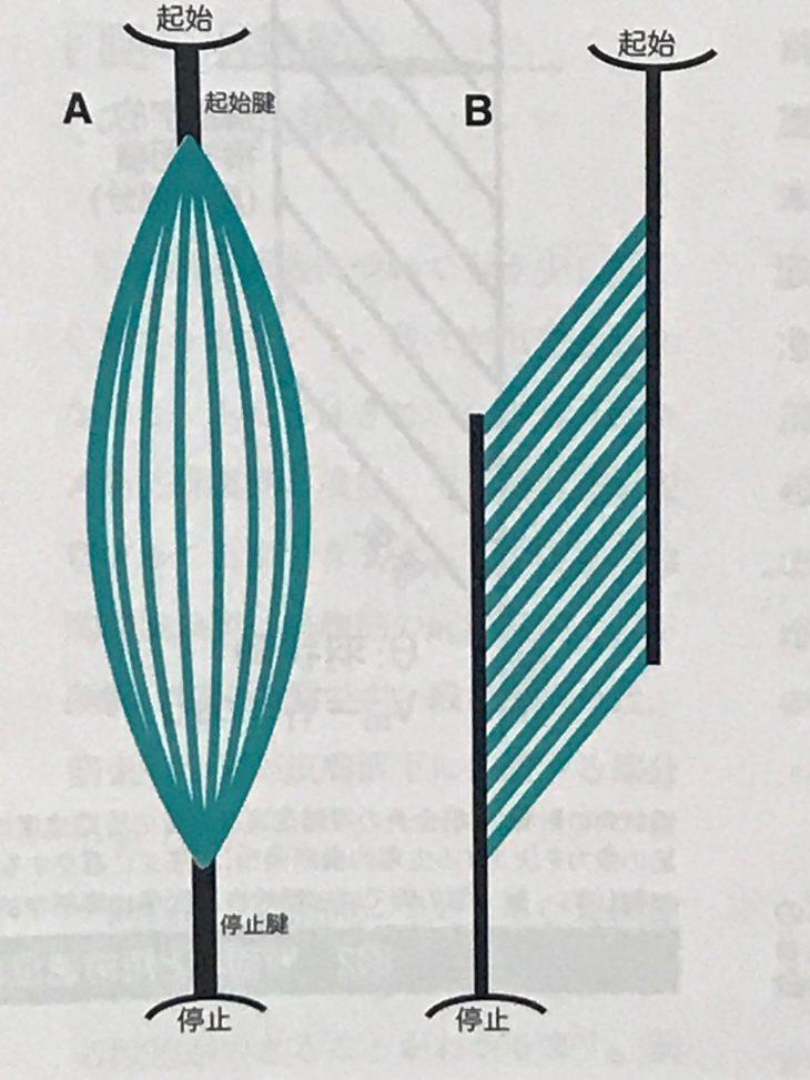 羽根状筋と紡錘筋